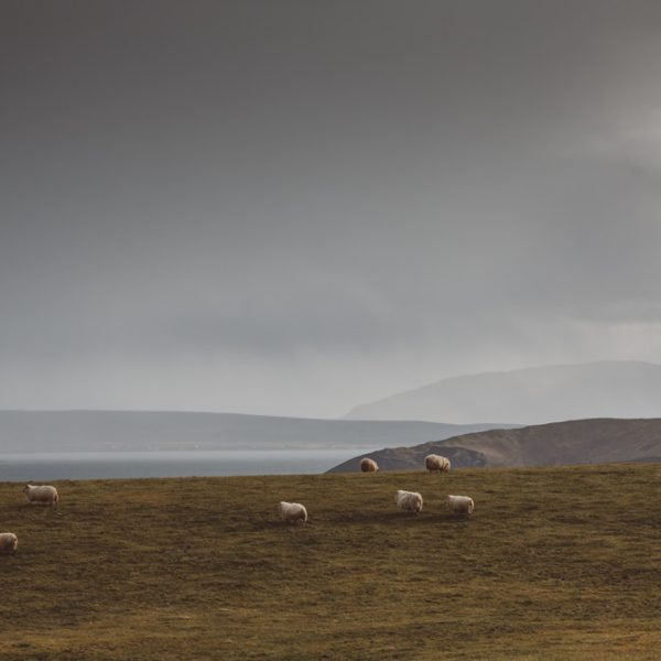 SHEEP OF ICELAND